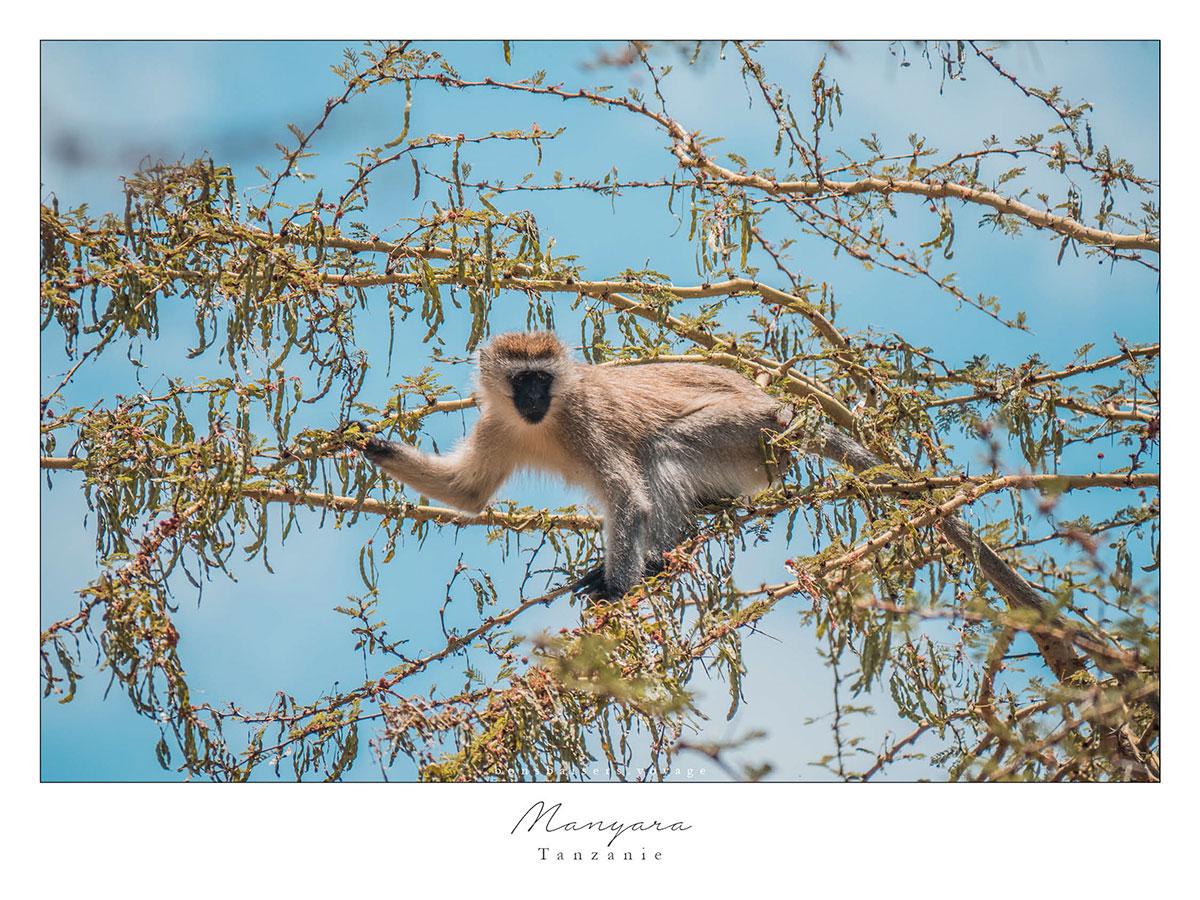 Safari en Tanzanie singes à Manyara