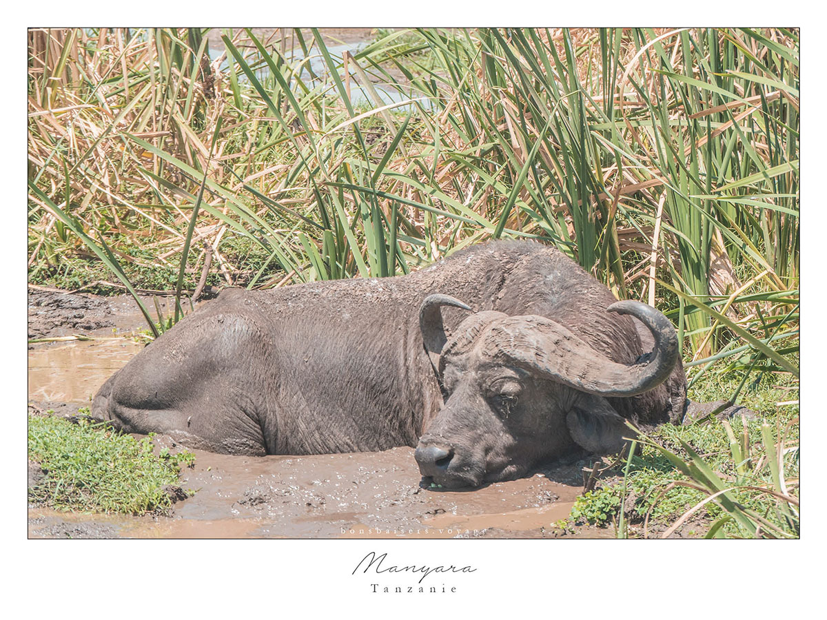 Safari en Tanzanie buffle à Manyara