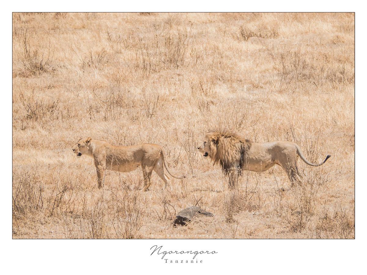 Safari en Tanzanie cratère Ngorongoro lions