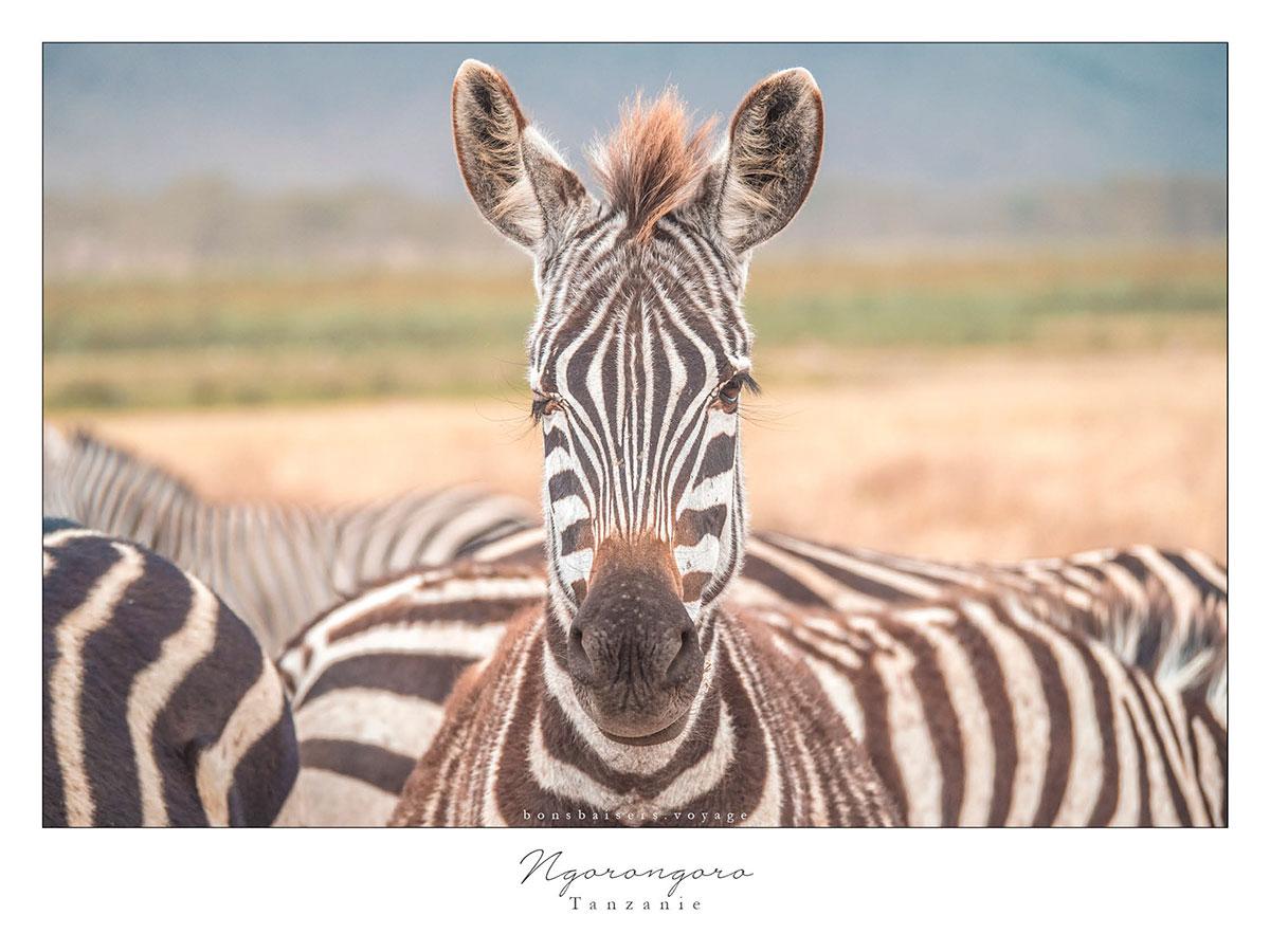 Safari en Tanzanie cratère Ngorongoro zèbre