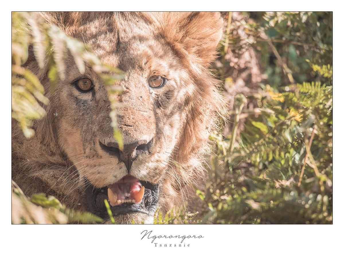 Safari en Tanzanie cratère Ngorongoro lion