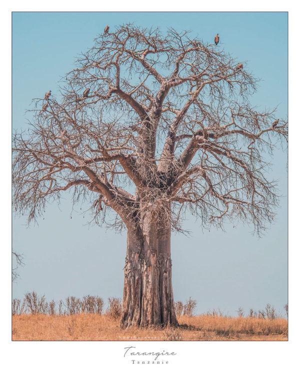 Safari en Tanzanie Tarangire baobab