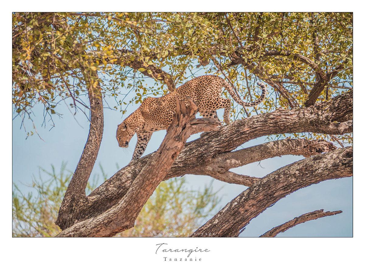Safari en Tanzanie Tarangire léopard