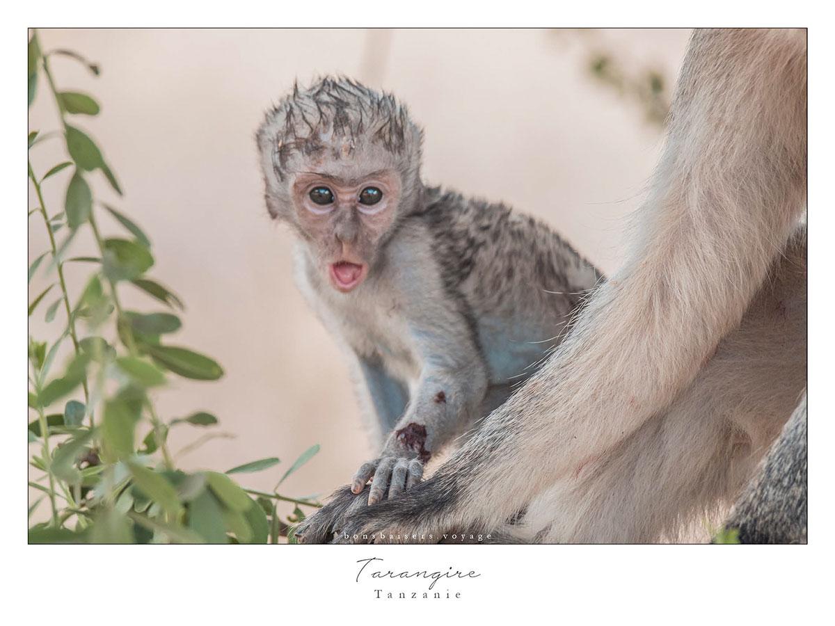 Safari en Tanzanie Tarangire singe