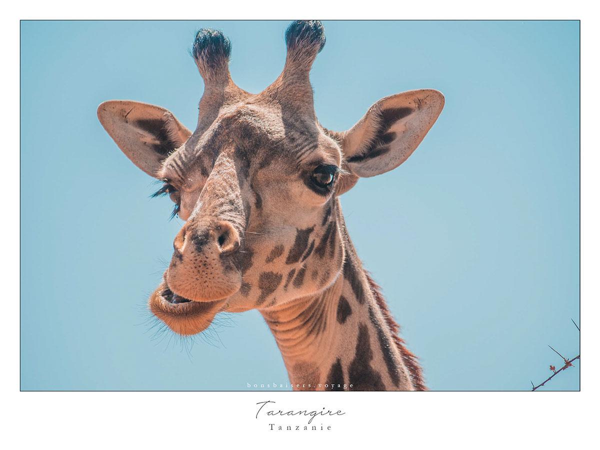 Safari en Tanzanie Tarangire girafe