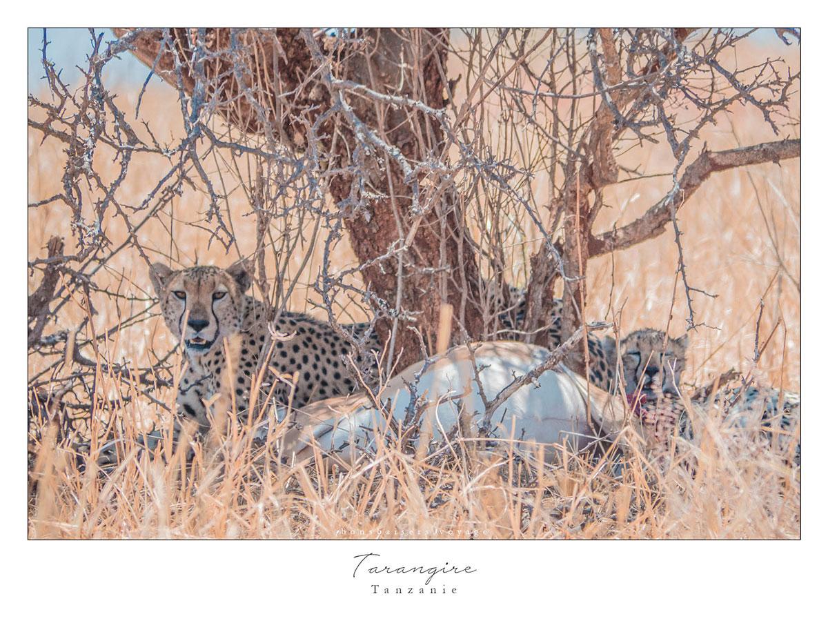 Safari en Tanzanie Tarangire guépard